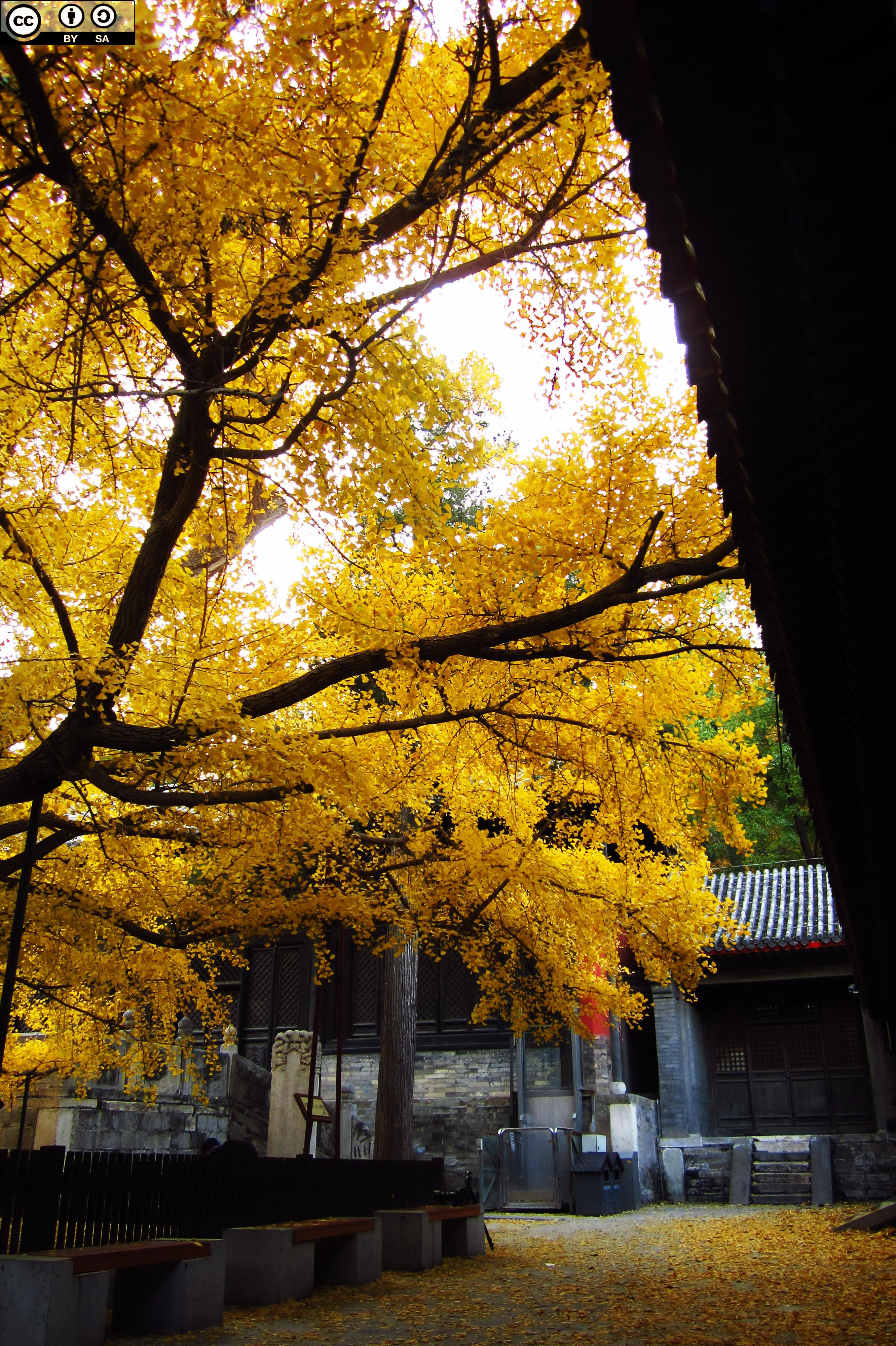 大覺寺深秋