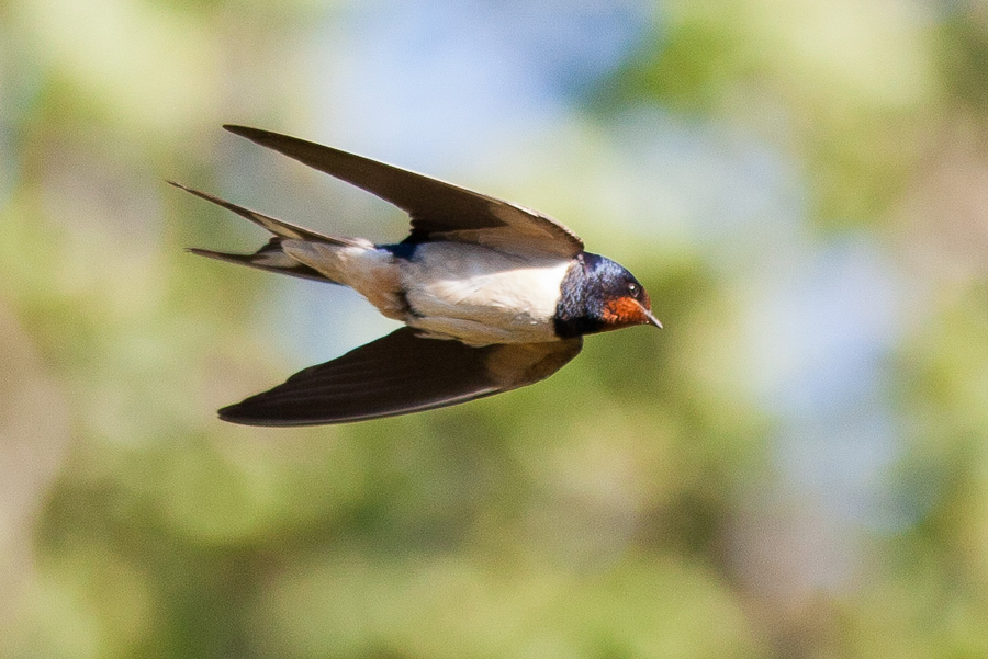 燕子在飞翔(swallow+in+flight
